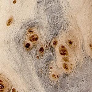 Peuplier gris (loupe)